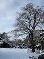 Buk červenolistý, Čechovy sady v zimě