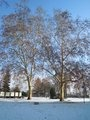 Javory mléče v parku Na Karlově (autor fotografie: Dagmar Broncová)