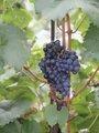 Z vinice (autor fotografie: Milan Polák)
