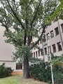 Památný strom dub uherský u Italské ulice. Foto D. Broncová, 2020