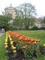 Záhon tulipánů před kostelem sv. Ignáce. Foto Dagmar Broncová