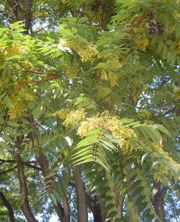 Květ pajasanu v Botičské