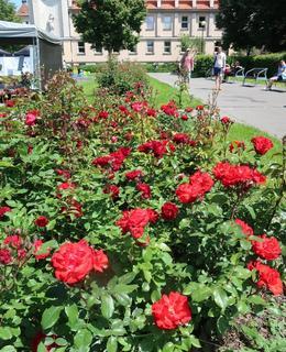 Záíhony nádherných růží v červnu 2019