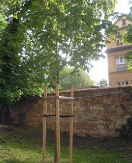 Jírovec žlutý je Strom Olgy Havlové. Foto D. Broncová