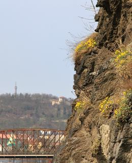 Tařice skalní na Vyšehradské skále v březnu 2014 (Foto M. Polák)