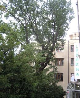 Strom stojí těsně u budovy. Foto D. Broncová