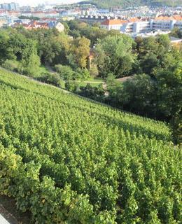 Pohled do vinice (foto M. Polák)
