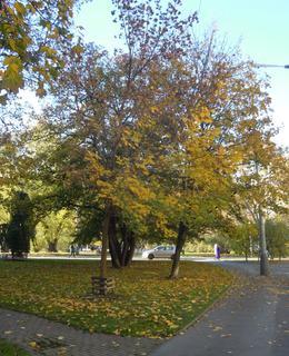 Javor má kolem kmene dřevěnou ohrádku (foto D. Broncová, podzim 2020)