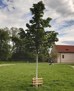 Vyšehradské sady se stromem míru, v pozadí Staré purkrabství (foto D. Broncová, květen 2021)