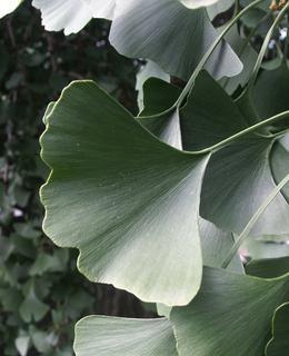 List nádherného magického stromu z Botanické zahrady UK (foto Milan Polák, 2007)