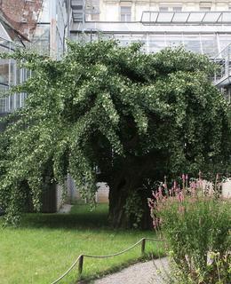 Tak vypadal Gingko biloba v roce 2007 (foto M. Polák)