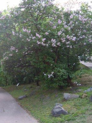 Keře šeříků v parku Nad Bělehradskou (autor fotografie: Dagmar Broncová)
