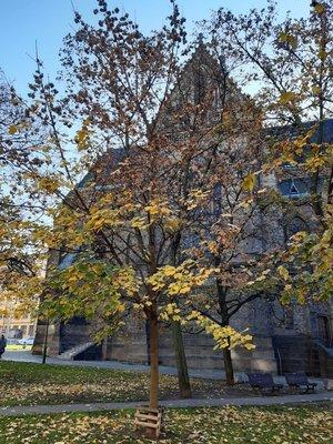 Javor mléč stojí vlevo od kostela (foto D. Broncová, podzim 2020)