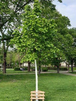 Lípa srdčitá, strom míru (foto D. Broncová, květen 2021)